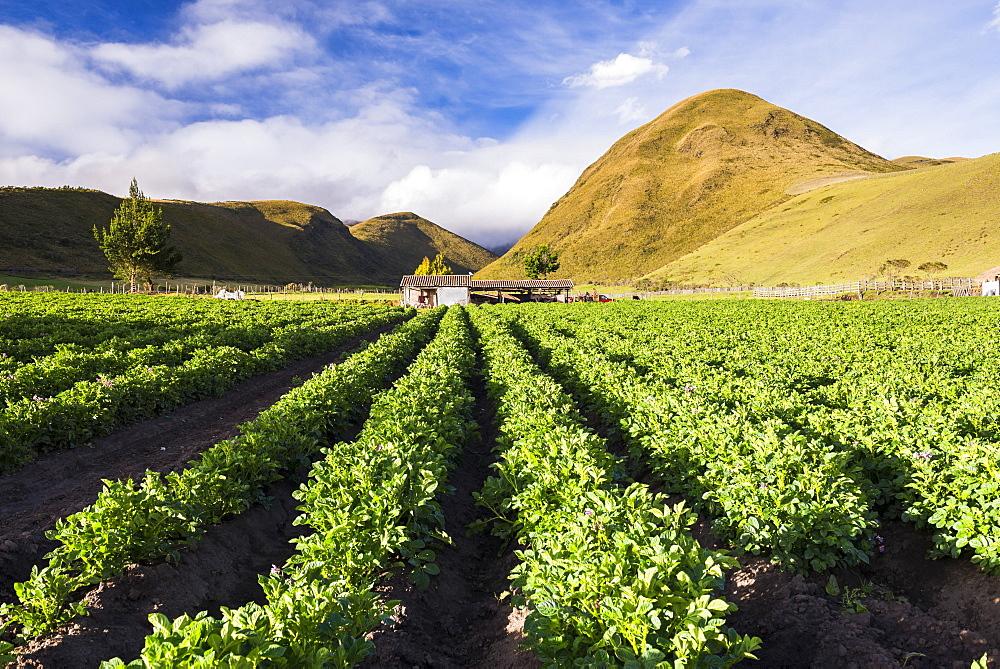 Farmland at the base of Illiniza Norte Volcano, Pichincha Province, Ecuador, South America