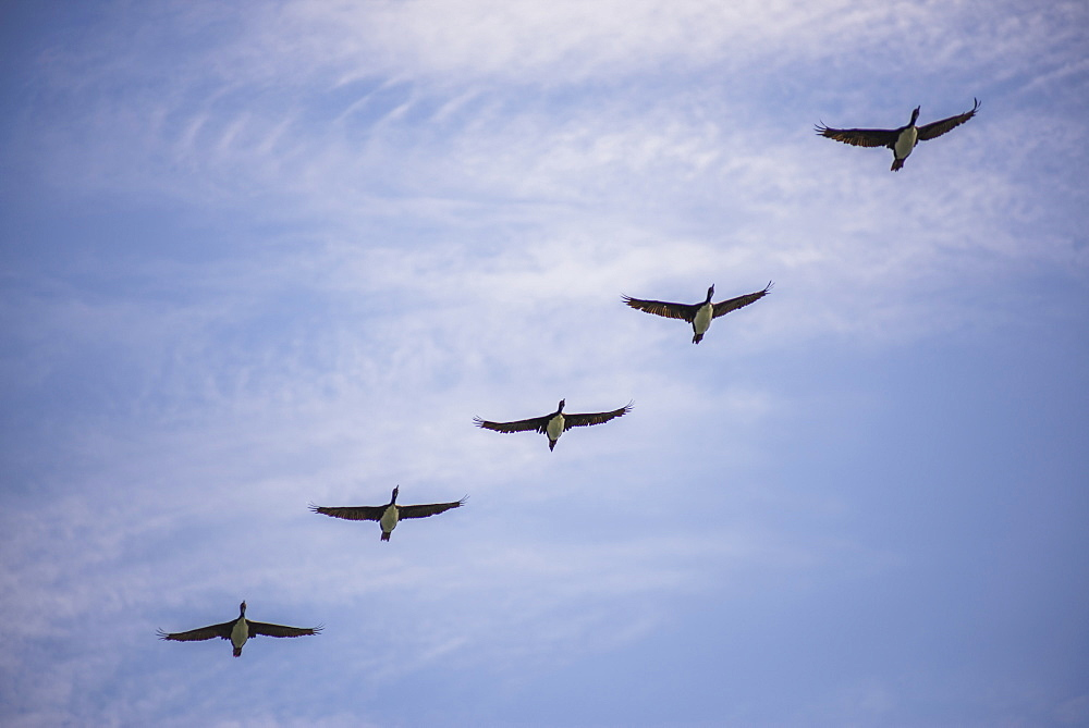 Guanay cormorant or shag (Phalacrocorax or Leucocarbo bougainvillii) birds flying, Ballestas Islands, Paracas, Peru, South America