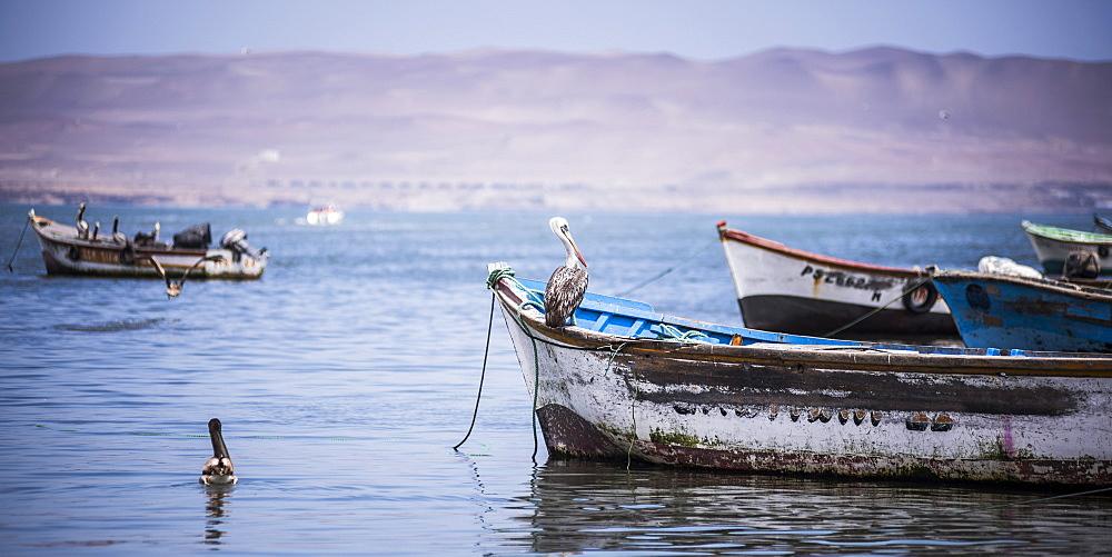 Peruvian pelican (Pelecanus Thagus), Paracas, Ica, Peru, South America