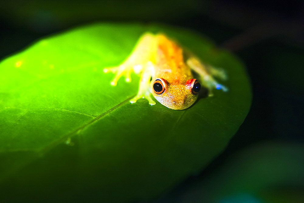 Frog in the Amazon Rainforest at night, Coca, Ecuador, South America