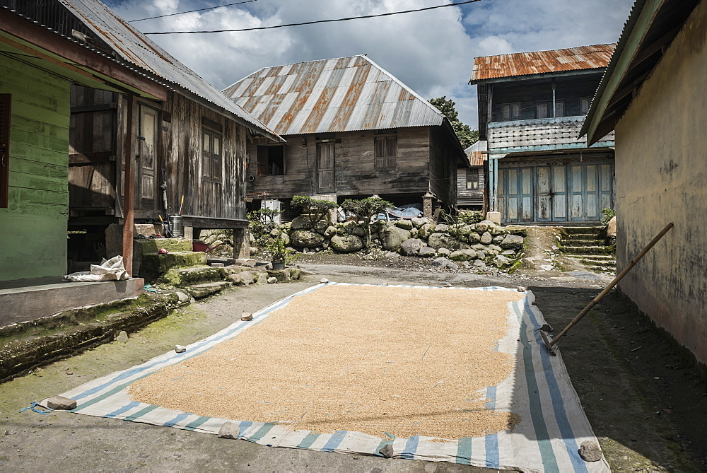 Coffee beans drying in the sun in a village in the foothills of Sinabung Volcano, Berastagi (Brastagi), North Sumatra, Indonesia, Southeast Asia, Asia