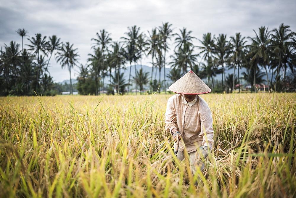 Farmers working in a rice paddy field, Bukittinggi, West Sumatra, Indonesia, Southeast Asia, Asia