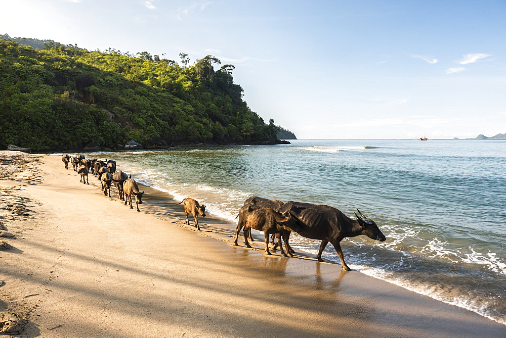 Water Buffalo on the beach at Sungai Pinang, near Padang in West Sumatra, Indonesia, Southeast Asia, Asia