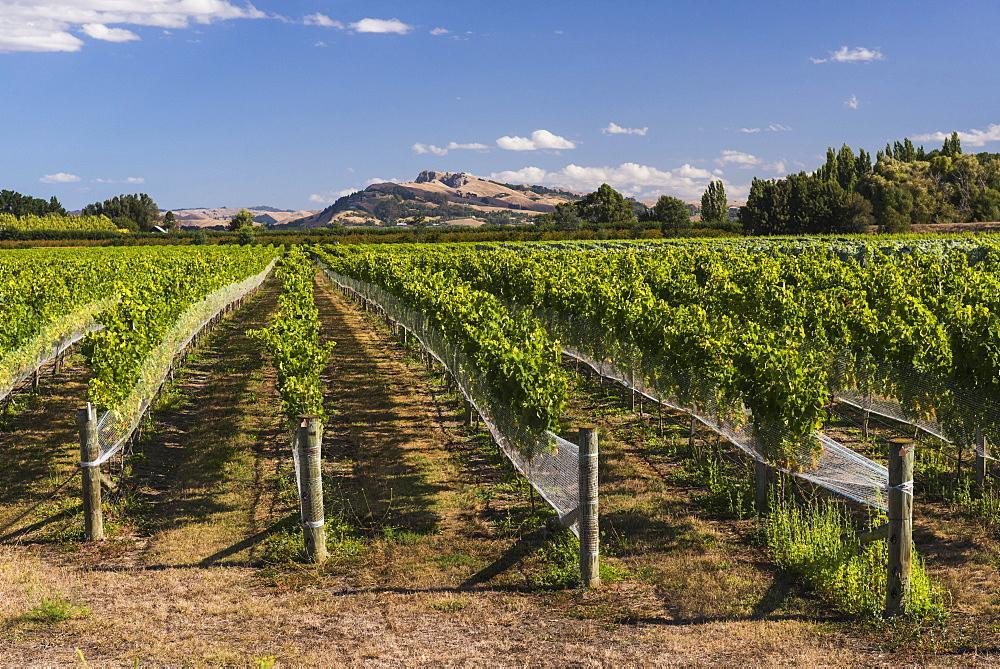 Black Bridge Estate Vineyards near Napier, Hawkes Bay Region, North Island, New Zealand, Pacific