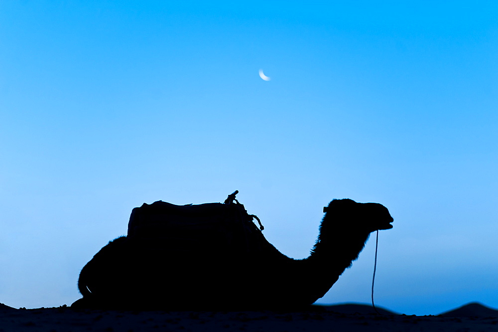 Silhouette of a camel in the desert at night, Erg Chebbi Desert, Morocco, North Africa, Africa