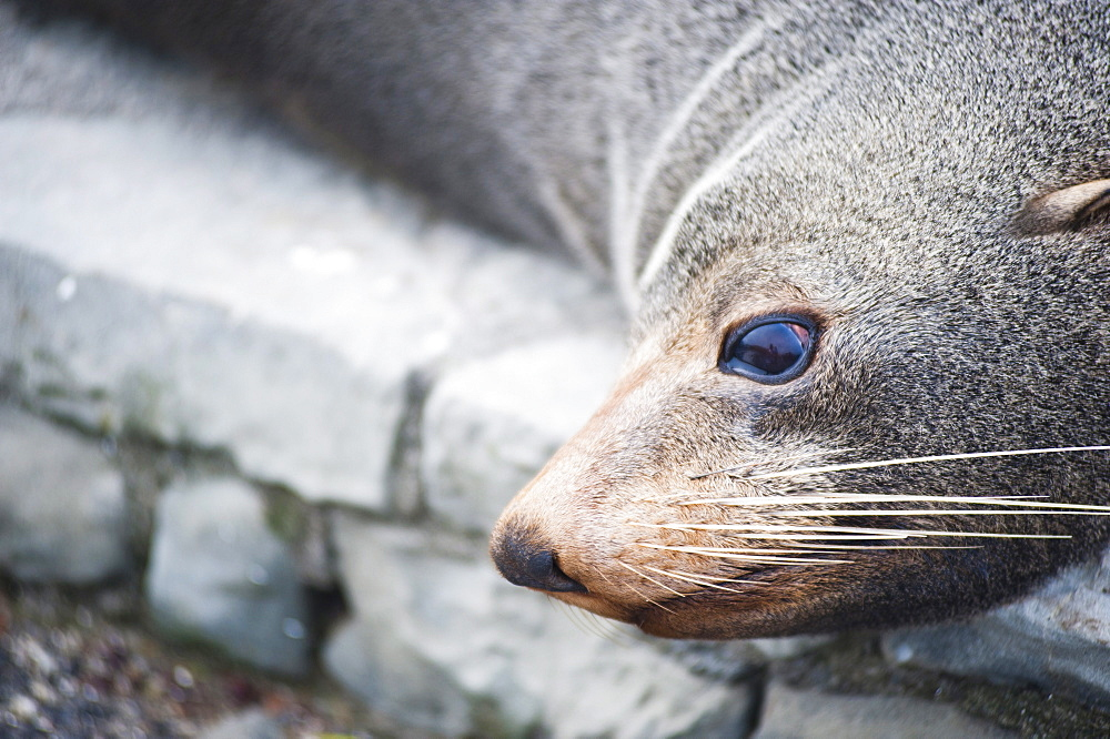 Fur seal at Kaikoura, Canterbury Region, South Island, New Zealand, Pacific