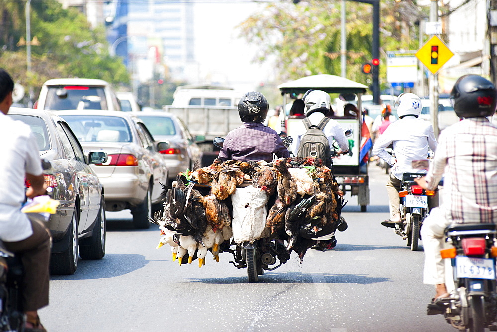 Live chickens and ducks being taken to market on a moped in Phnom Penh, Cambodia, Indochina, Southeast Asia, Asia