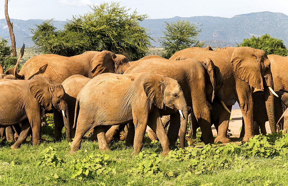 Herd of elephants, Samburu National Reserve, Kenya, East Africa, Africa