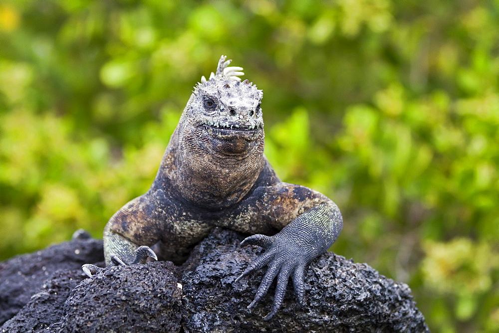 Galapagos marine iguana (Amblyrhynchus cristatus), Fernandina Island, Galapagos Islands, UNESCO World Heritge Site, Ecuador, South America