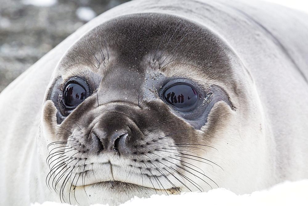 Southern elephant seal (Mirounga leonina) weaner pup, Snow Island, Antarctica, Polar Regions