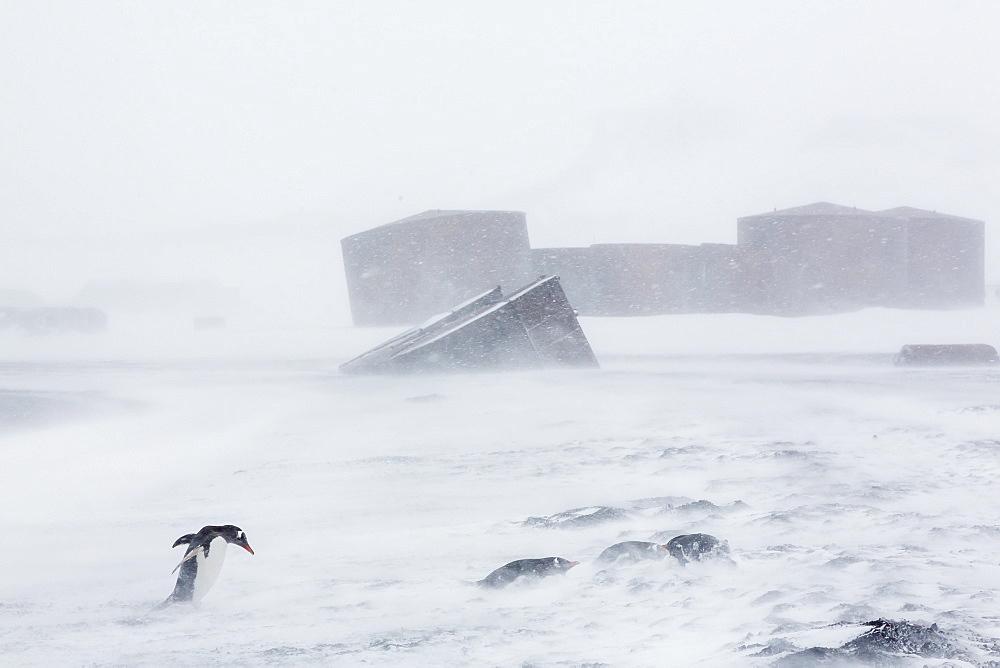 Adult gentoo penguins (Pygoscelis papua) in snow storm, Port Foster, Deception Island, Antarctica, Southern Ocean, Polar Regions