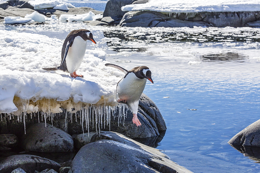 Adult gentoo penguin (Pygoscelis papua) leaping into tide pool at Port Lockroy, Antarctica, Southern Ocean, Polar Regions