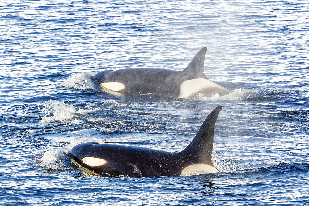 Type A killer whales (Orcinus orca) travelling and socializing in Gerlache Strait near the Antarctic Peninsula, Southern Ocean, Polar Regions