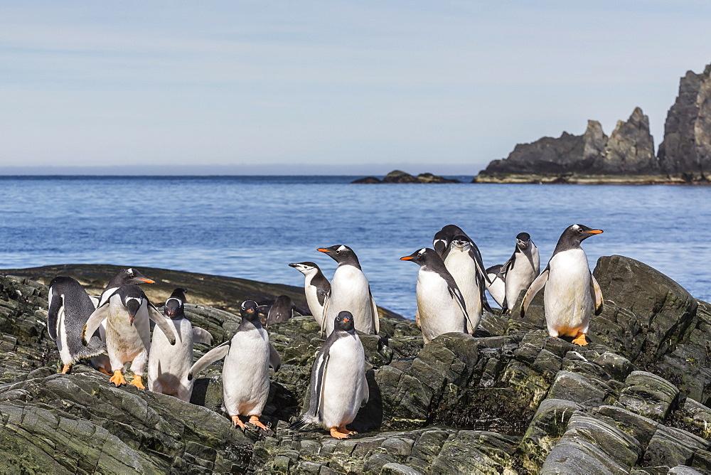 Adult gentoo penguins (Pygoscelis papua) and chinstrap penguins (Pygoscelis antarctica), Elephant Island, Antarctica, Southern Ocean, Polar Regions