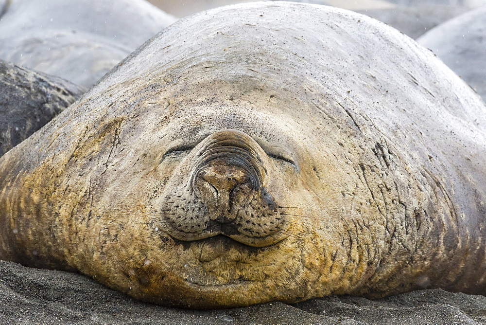 Southern elephant seals (Mirounga leonina), annual catastrophic molt, Gold Harbour, South Georgia, South Atlantic Ocean, Polar Regions