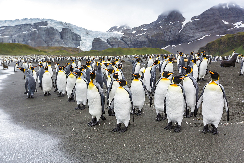 King penguins (Aptenodytes patagonicus) breeding and nesting colony at Gold Harbour, South Georgia, South Atlantic Ocean, Polar Regions