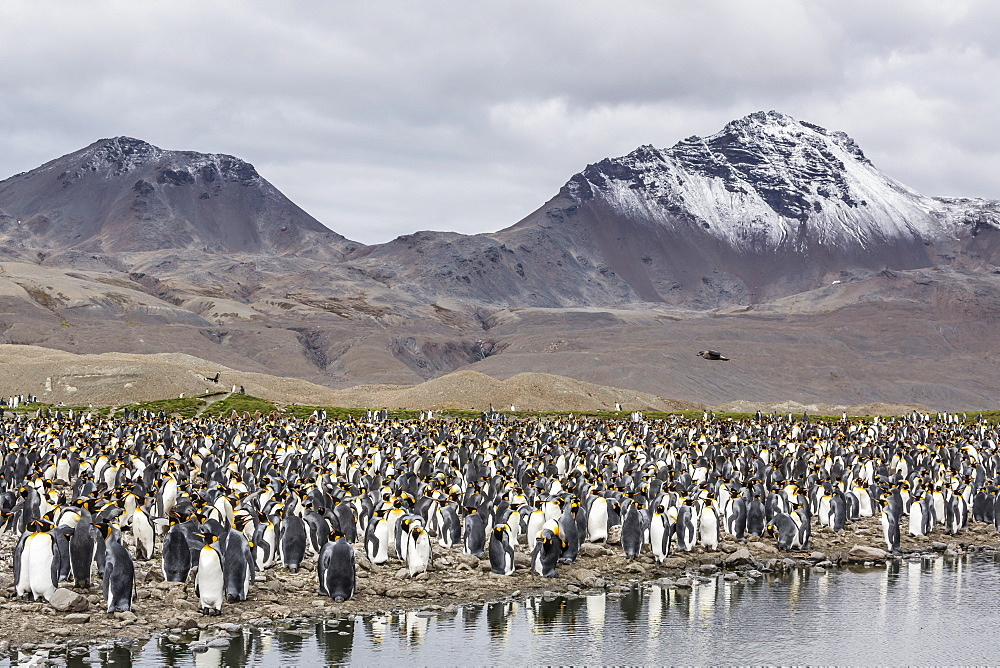 King penguin (Aptenodytes patagonicus) breeding colony at Fortuna Bay, South Georgia, South Atlantic Ocean, Polar Regions