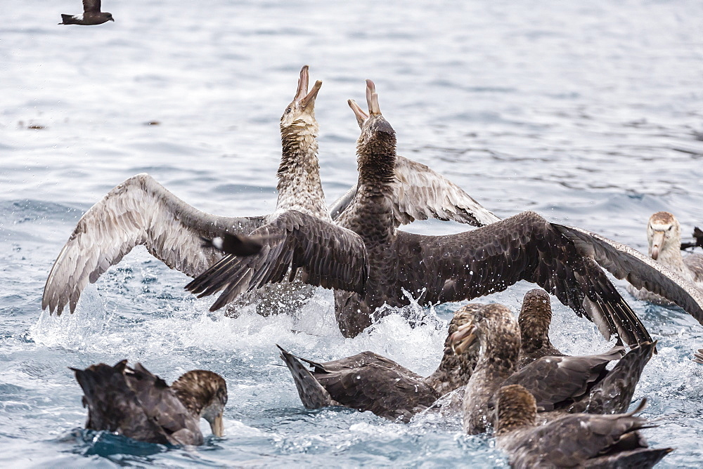 Adult northern giant petrels (Macronectes halli) fighting over a dead seal pup in Elsehul Bay, South Georgia, South Atlantic Ocean, Polar Regions