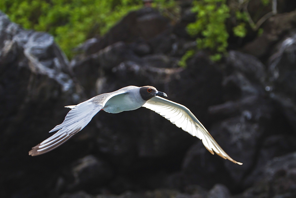 Adult swallow-tailed gull (Creagrus furcatus), Genovesa Island, Galapagos Islands, Ecuador, South America