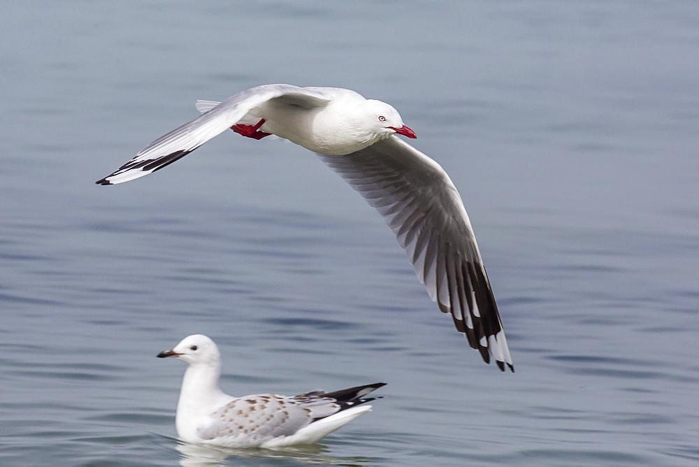 Red-billed gull (Chroicocephalus scopulinus) in flight near Dunedin, South Island, New Zealand, Pacific