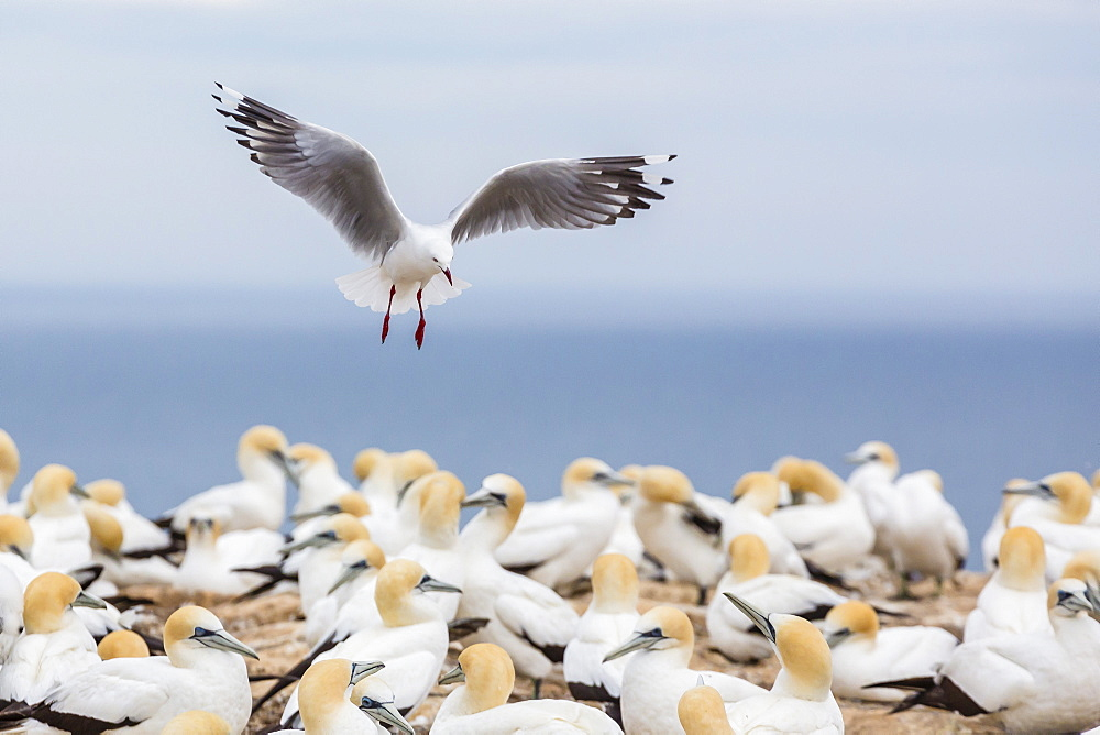 Red-billed gull (Chroicocephalus scopulinus) in gannet breeding colony at Cape Kidnappers, Napier, North Island, New Zealand, Pacific