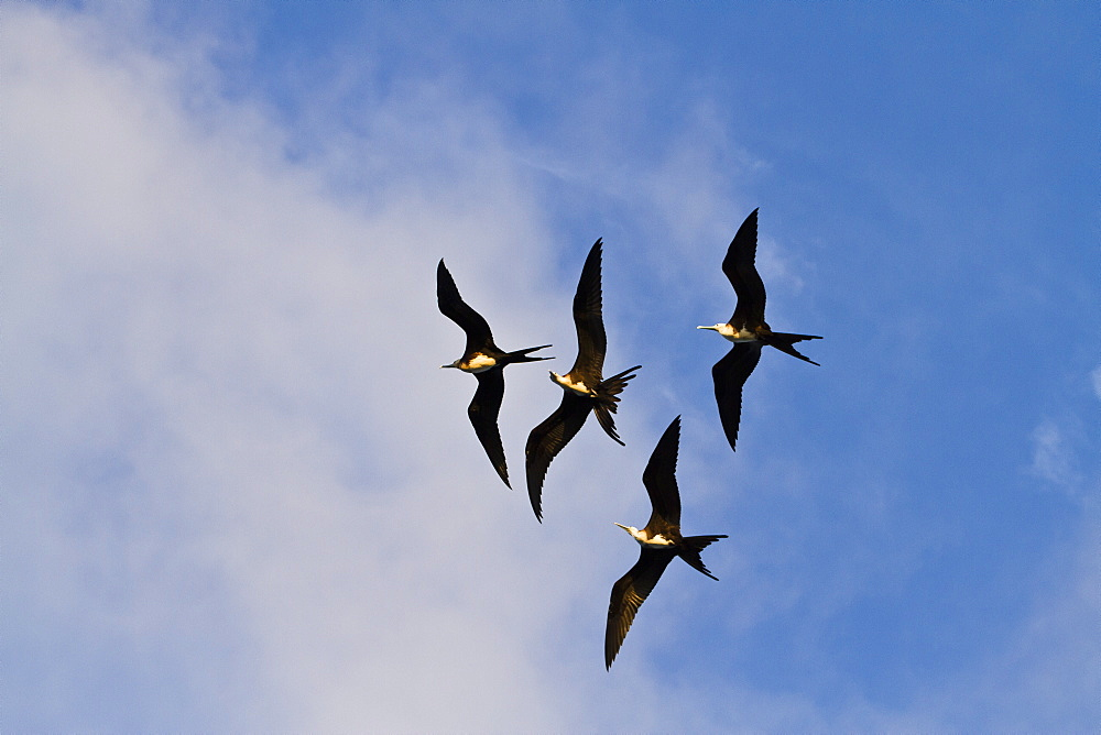 Magnificent frigatebirds (Fregata magnificens), Punta Pitt, San Cristobal Island, Galapagos Islands, Ecuador, South America