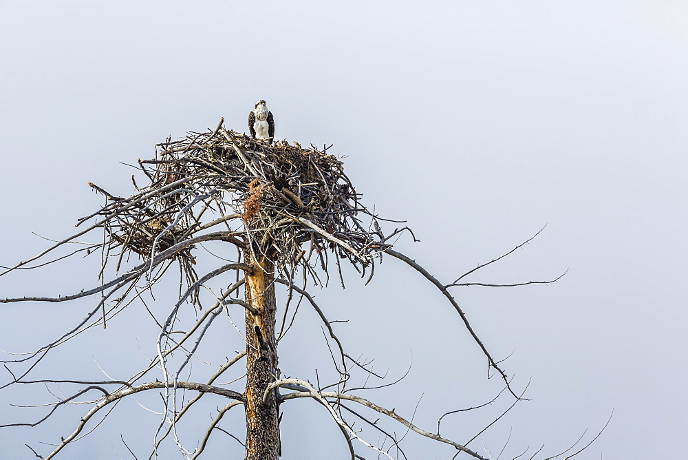 Osprey (Pandion haliaetus) on nest along the Madison River, Yellowstone National Park, Wyoming, United States of America, North America