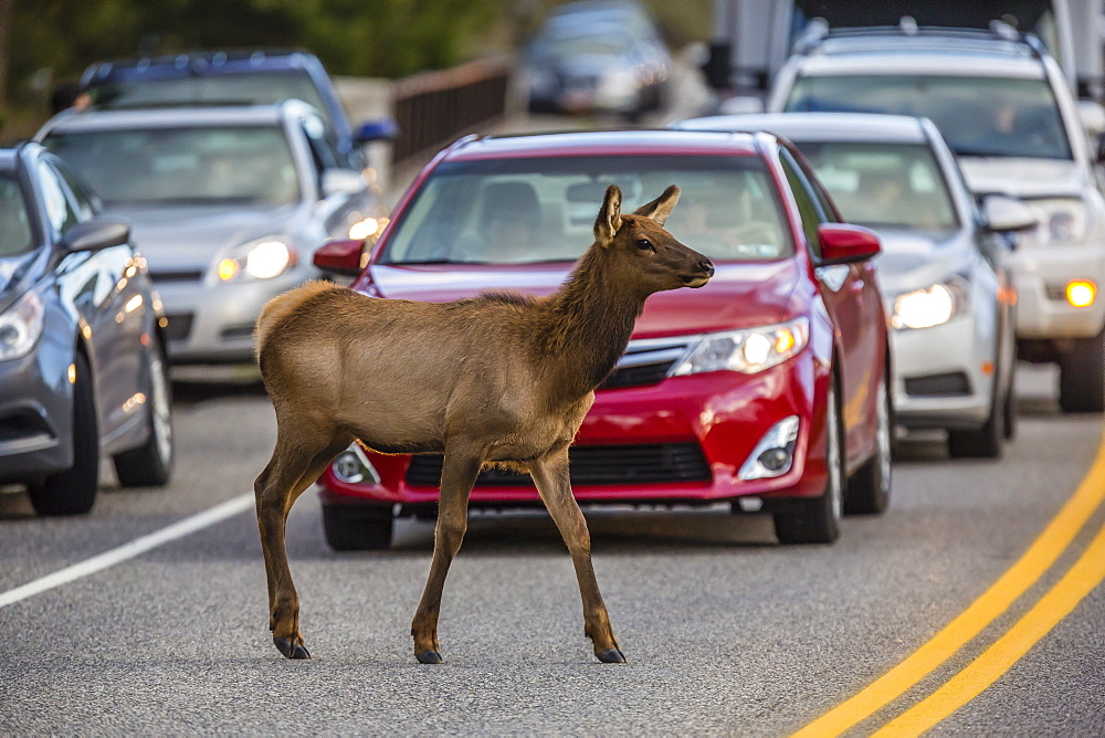 Young elk (Cervus canadensis), crossing amongst traffic along the Madison River, Yellowstone National Park, Wyoming, United States of America, North America