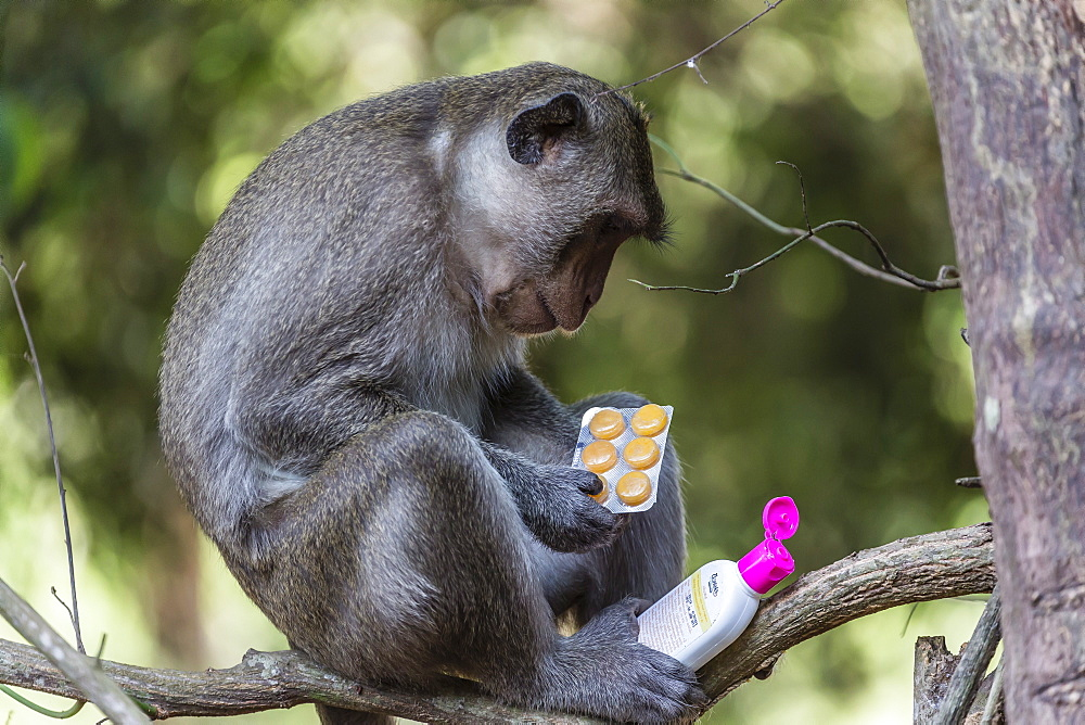 Curious long-tailed macaque (Macaca fascicularis) with stolen items from a visitors backpack in Angkor Thom, Siem Reap, Cambodia, Indochina, Southeast Asia, Asia
