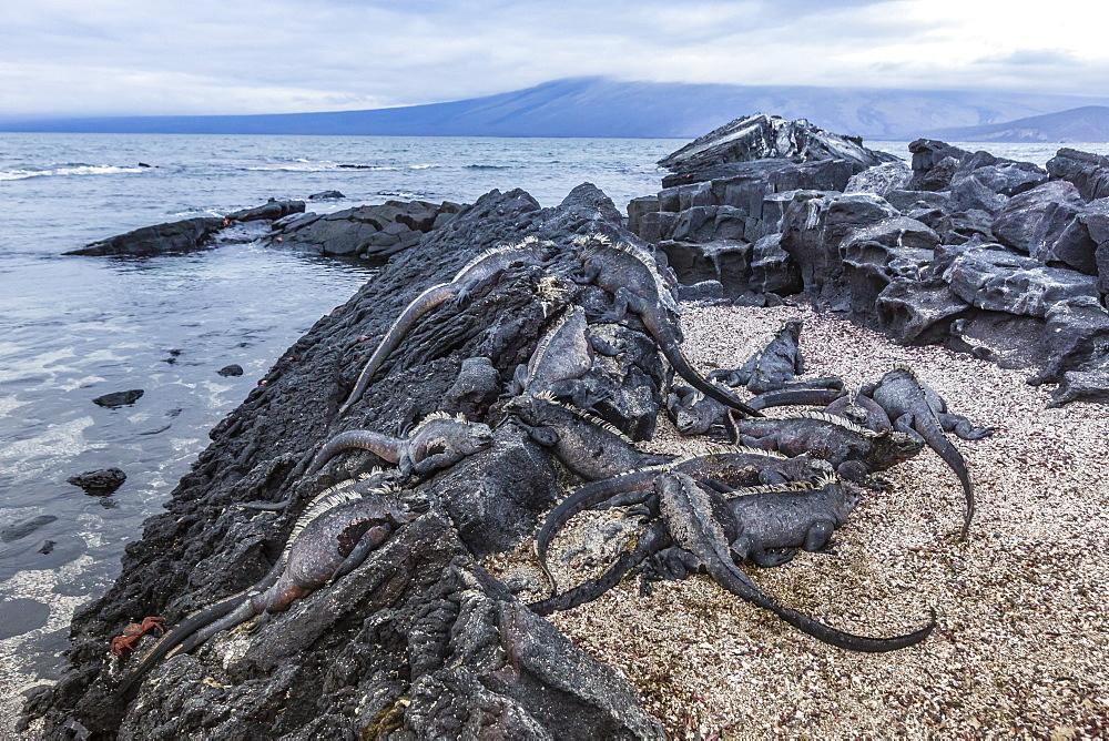 Adult Galapagos marine iguanas (Amblyrhynchus cristatus) basking on Fernandina Island, Galapagos Islands, UNESCO World Heritage Site, Ecuador, South America r