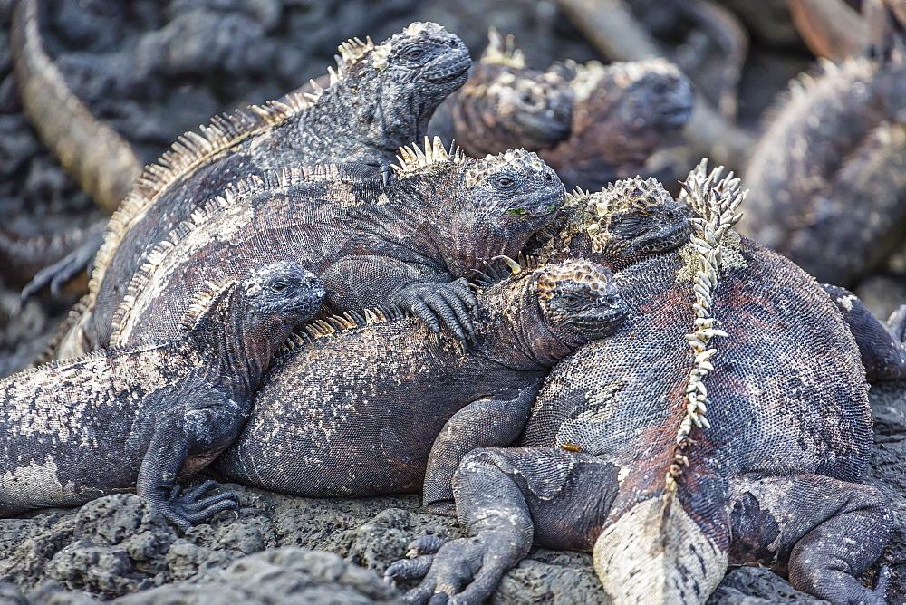 Galapagos marine iguana (Amblyrhynchus cristatus) basking in Puerto Egas, Santiago Island, Galapagos Islands, Ecuador, South America
