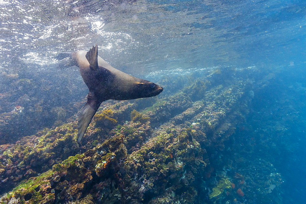 Galapagos fur seal (Arctocephalus galapagoensis) underwater at Isabela Island, Galapagos Islands, Ecuador, South America