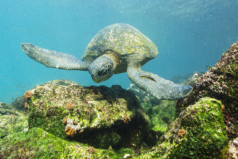 Adult green sea turtle (Chelonia mydas) underwater near Rabida Island, Galapagos Islands, Ecuador, South America
