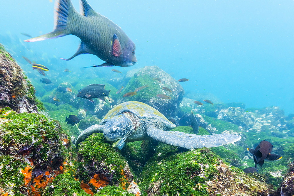 Adult green sea turtle (Chelonia mydas) feeding underwater near Isabela Island, Galapagos Islands, Ecuador, South America