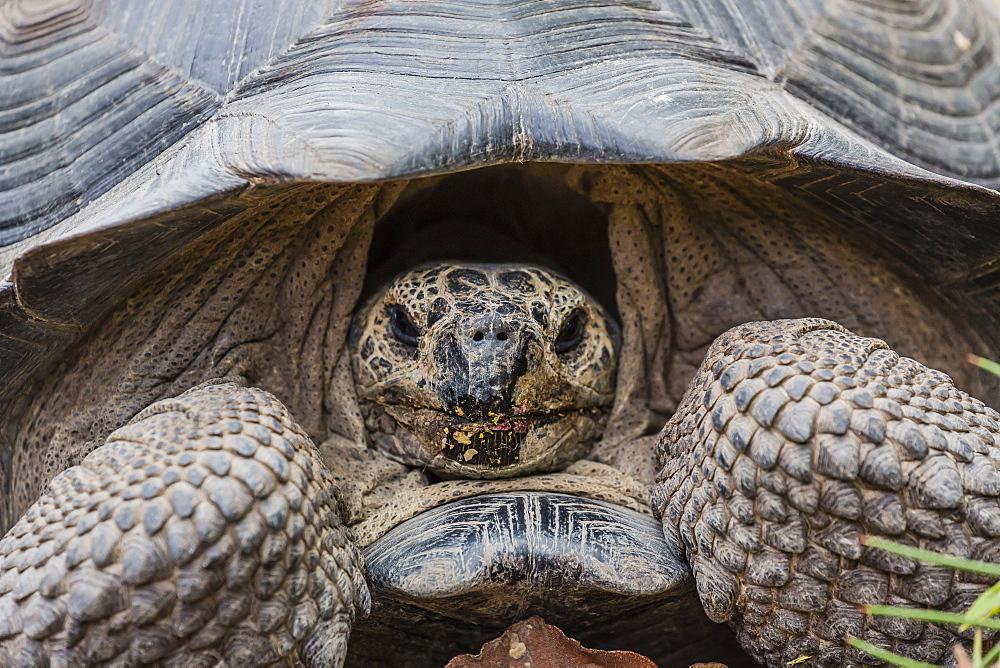 Wild Galapagos giant tortoise (Chelonoidis nigra) in Urbina Bay, Isabela Island, Galapagos Islands, Ecuador, South America