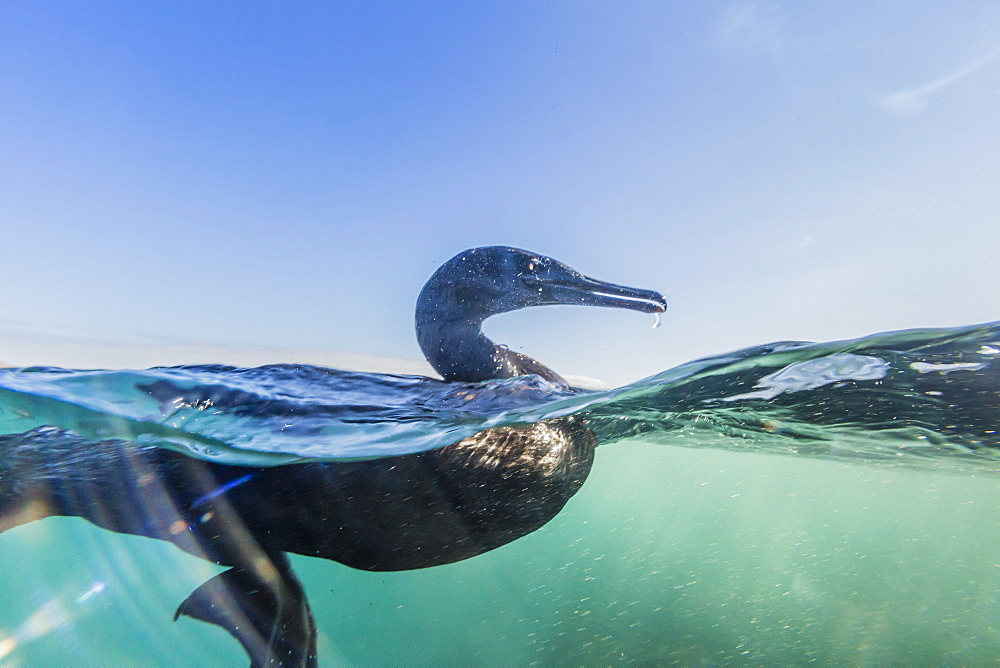 Curious flightless cormorant (Phalacrocorax harrisi) underwater at Tagus Cove, Isabela Island, Galapagos Islands, Ecuador, South America