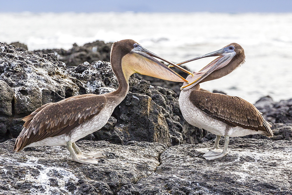 Immature brown pelicans (Pelecanus occidentalis) inspecting each others bills at Puerto Egas, Santiago Island, Galapagos Islands, Ecuador, South America