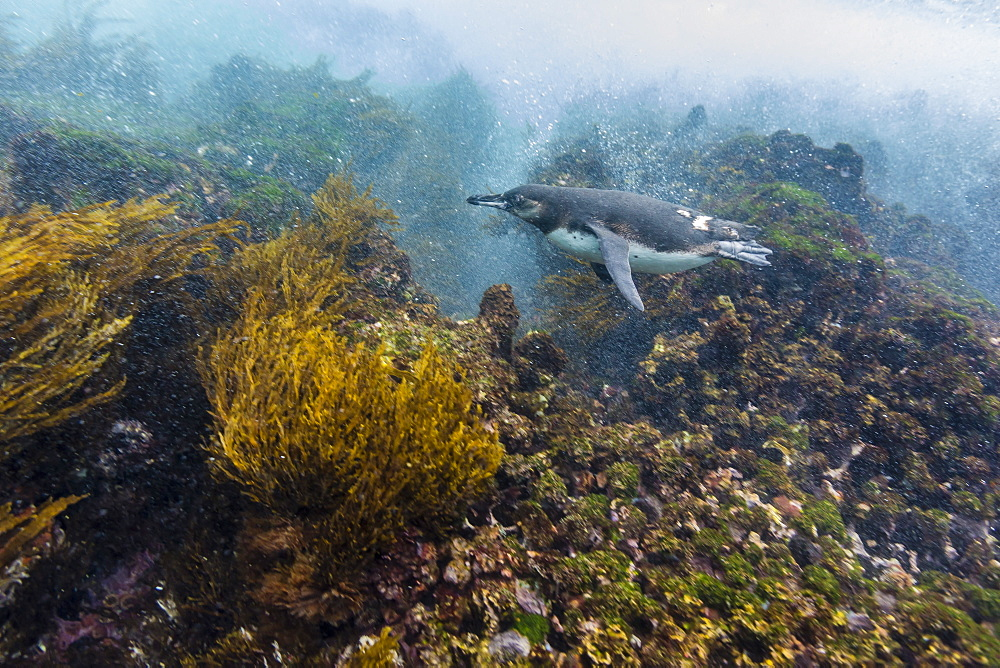 Galapagos penguin (Spheniscus mendiculus) underwater at Isabela Island, Galapagos Islands, Ecuador, South America
