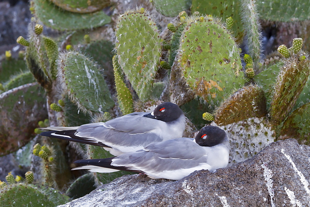 Swallow-tailed gull (Creagrus furcatus), Genovesa Island, Galapagos Islands, UNESCO World Heritge Site, Ecuador, South America