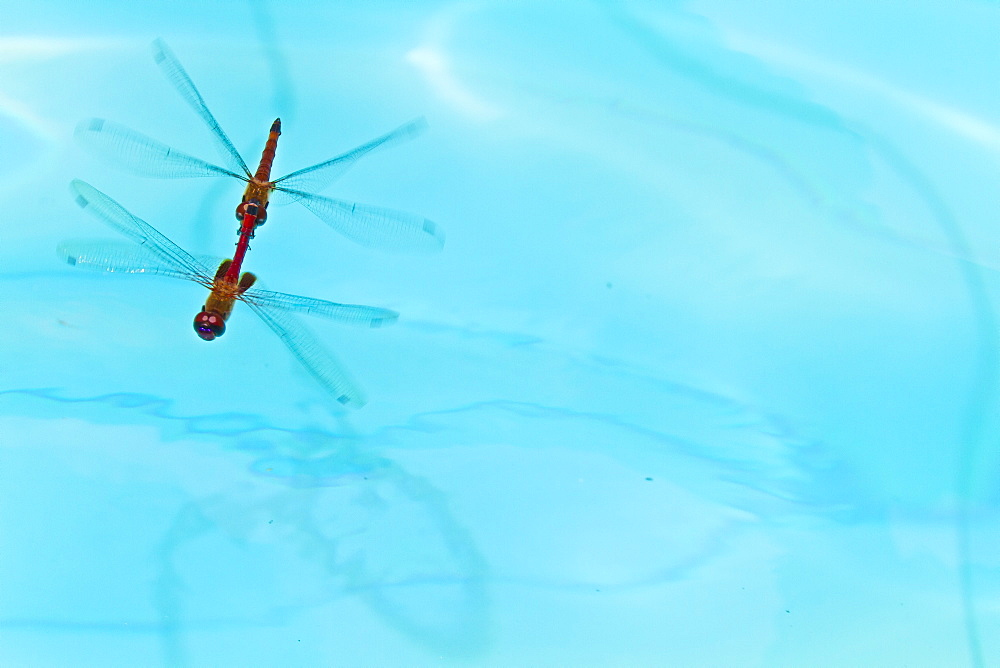 Dragonflies mating, Santa Cruz Island, Galapagos Islands, Ecuador, South America - 1112-160