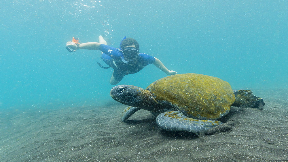Adult green sea turtle (Chelonia mydas) underwater with snorkeler near Isabela Island, Galapagos Islands, Ecuador, South America