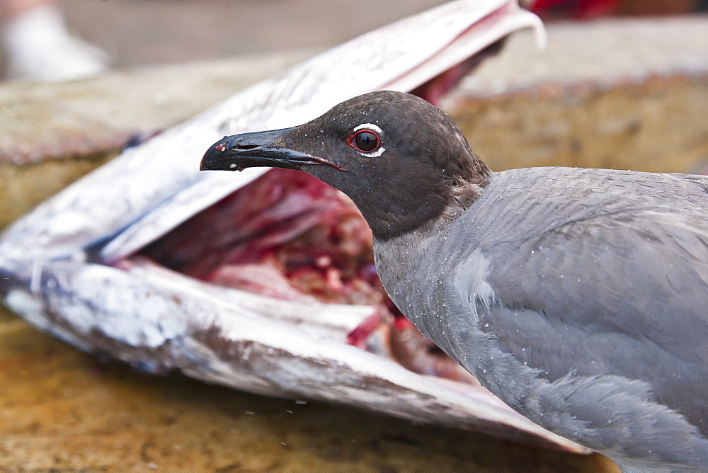 Lava gull (Leucophaeus fuliginosus), Puerto Ayora, Santa Cruz Island, Galapagos Islands, Ecuador, South America