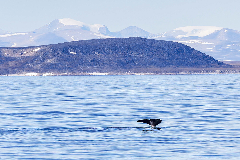 Adult bowhead whale (Balaena mysticetus) flukes up dive off the Cumberland Peninsula, Baffin Island, Nunavut, Canada, North America