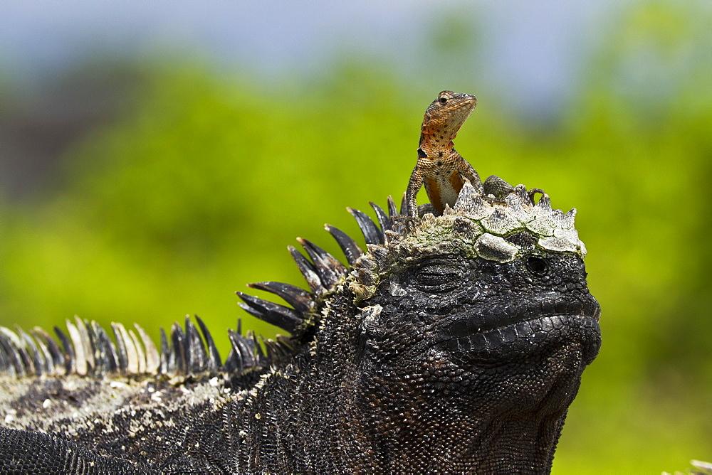 Lava lizard (Microlophus spp,) on top of marine iguana (Amblyrhynchus cristatus), Las Bachas, Santa Cruz Island, Galapagos Islands, Ecuador, South America