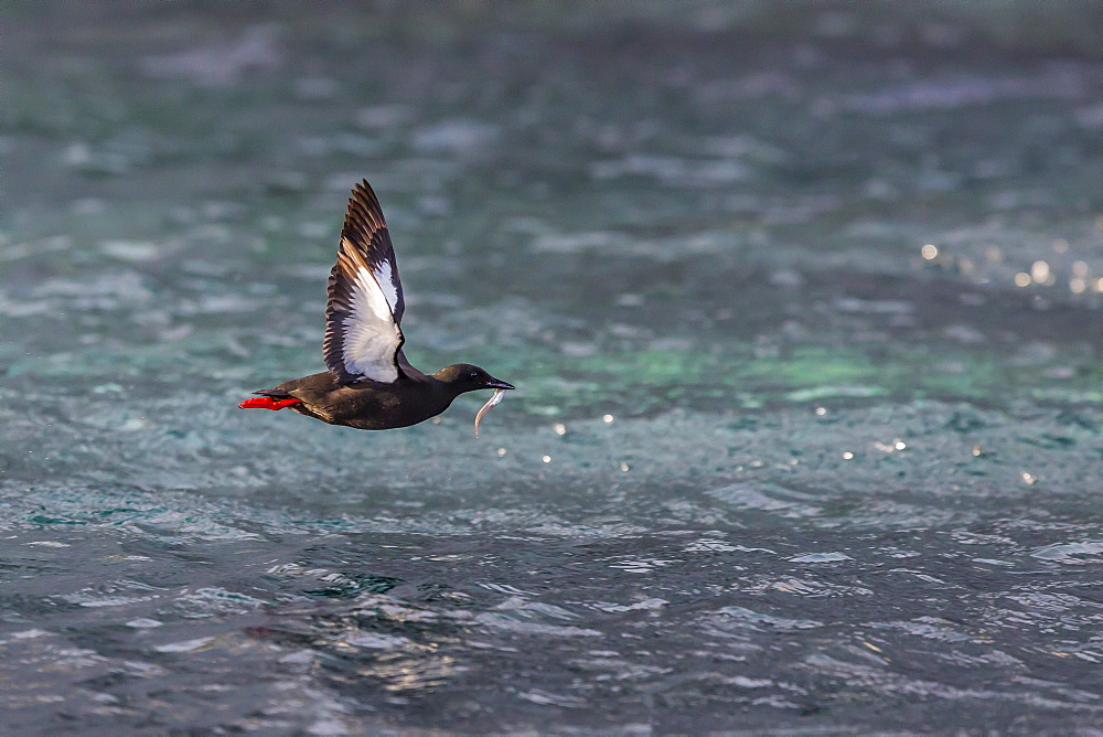 Black Guillemot (Cepphus grylle) taking flight with small fish, off Cape Mercy, Baffin Island, Nunavut, Canada, North America
