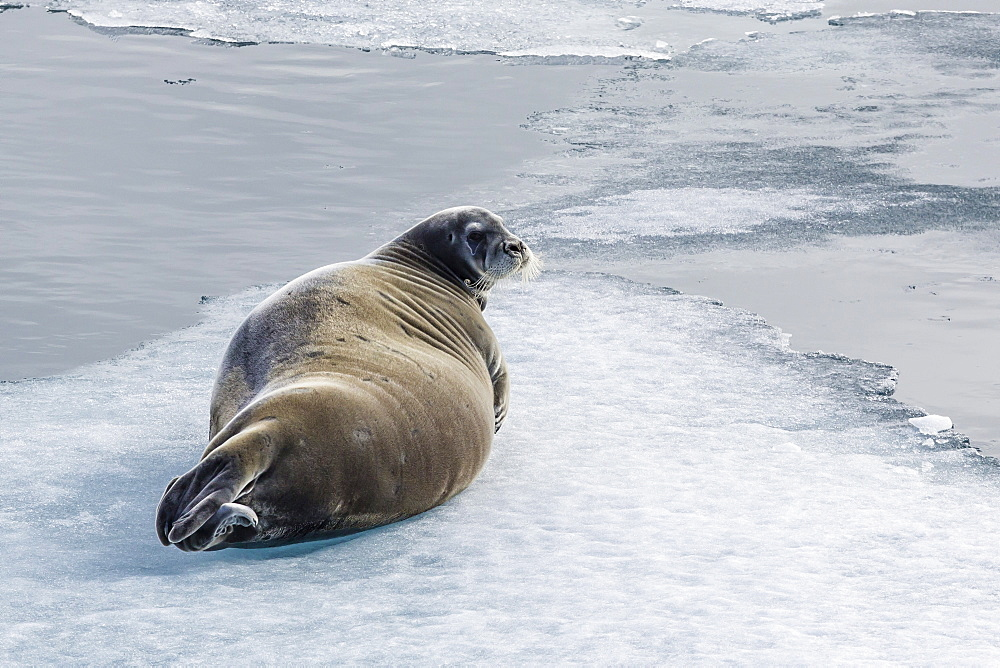 Adult bearded seal (Erignathus barbatus) hauled out on ice in Lancaster Sound, Nunavut, Canada, North America
