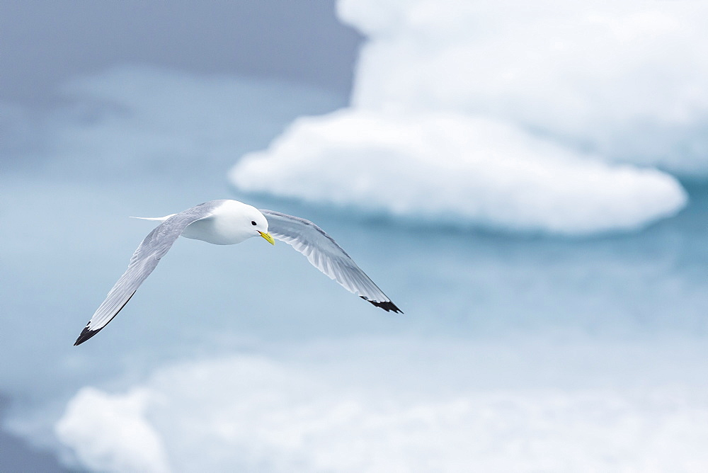 Black-legged Kittiwake (Rissa tridactyla) fishing for small prey amongst the ice in Lancaster Sound, Nunavut, Canada, North America