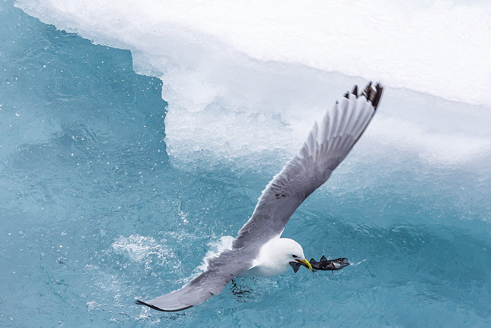 Black-legged Kittiwake (Rissa tridactyla) catching small fish amongst the ice in Lancaster Sound, Nunavut, Canada, North America