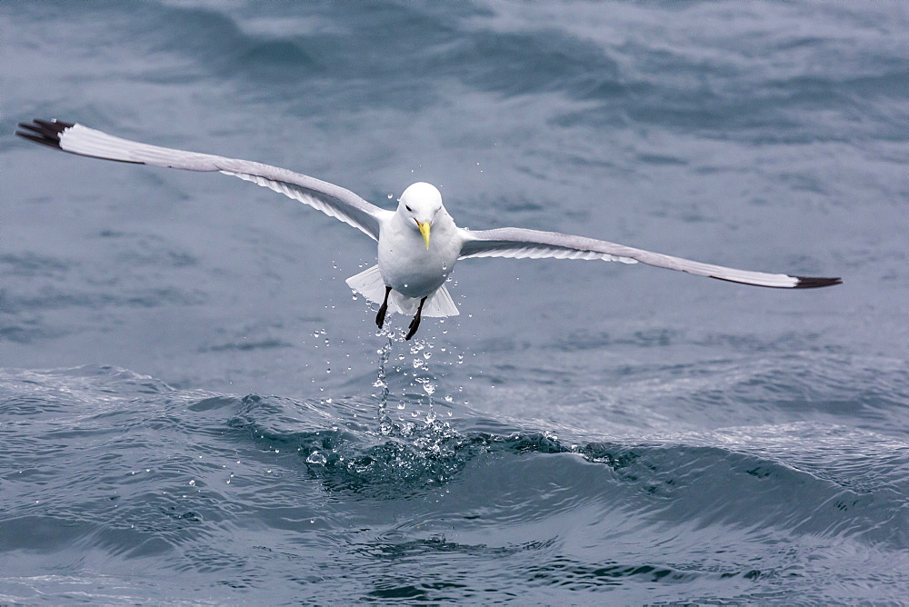 Black-legged Kittiwake (Rissa tridactyla) catching small terapods at Cape Hay, Bylot Island, Nunavut, Canada, North America