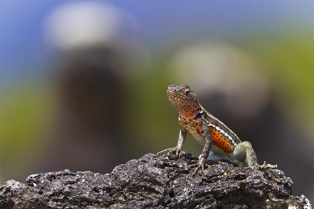 Lava lizard (Microlophus spp), Las Bachas, Santa Cruz Island, Galapagos Islands, Ecuador, South America